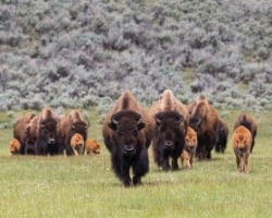 A group on bison grazing on grass in a field