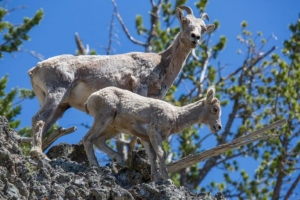 Two Bighorn sheep on the edge of a rocky cliff