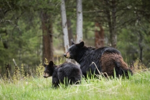 Mother and baby bear in a grassy field