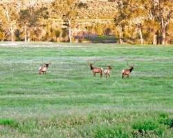 Bull elk in a field n Wapiti Valley