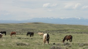Checking Out the Wild Mustangs 2