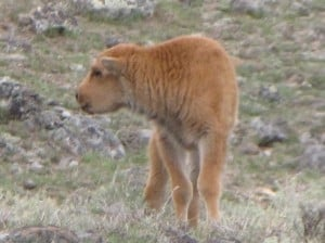 Keeping a Safe Distance From Our National Mammal