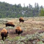 Corrie N. Cody Salutes the Cody/Yellowstone Wildlife 1