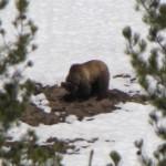Corrie N. Cody Salutes the Cody/Yellowstone Wildlife 2
