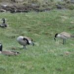 Corrie N. Cody Salutes the Cody/Yellowstone Wildlife 3