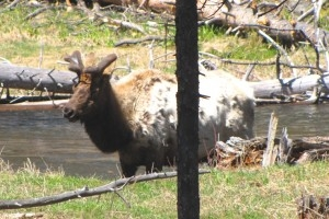 Corrie N. Cody's Top 11 list of best places to view wildlife in Buffalo Bill's Cody/Yellowstone Country 1