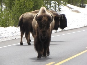 Corrie N. Cody's Top 11 list of best places to view wildlife in Buffalo Bill's Cody/Yellowstone Country 2