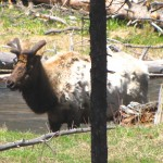 Ranger Robin's Report From Yellowstone's East Entrance 3