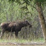 Ranger Robin's Report From Yellowstone's East Entrance 4