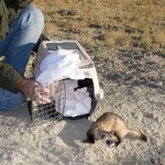 THE ELUSIVE BLACK FOOTED FERRET… Made in Meeteetse! 2