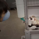 THE ELUSIVE BLACK FOOTED FERRET… Made in Meeteetse! 3