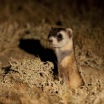 THE ELUSIVE BLACK FOOTED FERRET… Made in Meeteetse! 4