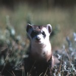 THE ELUSIVE BLACK FOOTED FERRET… Made in Meeteetse!