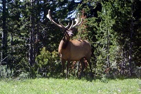 An elk appears from the forrest tree lins
