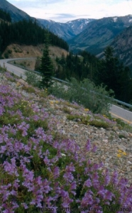 Wildflowers along the Beartooth Highway.