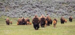 Buffalo roam in an open field
