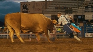 A bull chases a cowboy at the Cody Rodeo