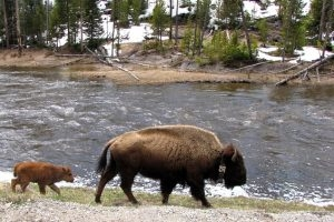 American bison and baby bison walking along a river bank