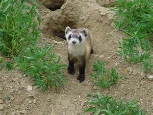 An adorable black-footer ferret beside their home in the ground