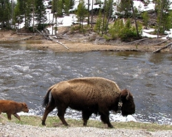 A Bison and calf walking by a river in Yellowstone