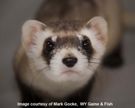 Annual Celebration of the Black-Footed Ferret