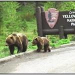 Corrie N. Cody Salutes the Cody/Yellowstone Wildlife