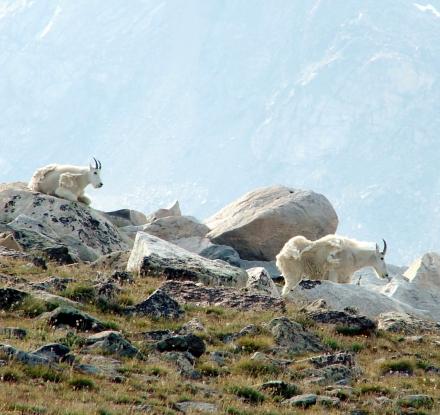 Mountain Goats on Beartooth Loop