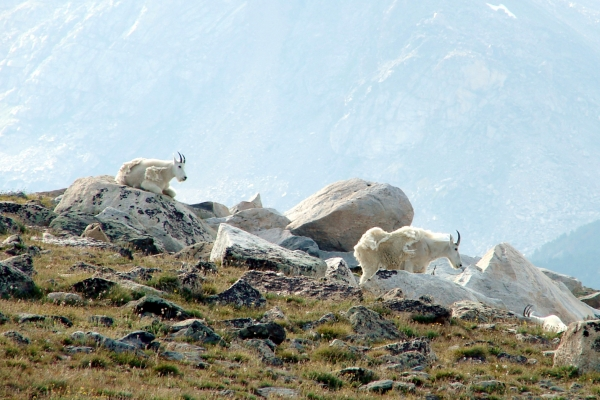 Mountain Goats on Beartooth Loop
