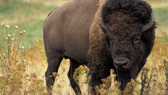 Is That a Bison or a Buffalo?