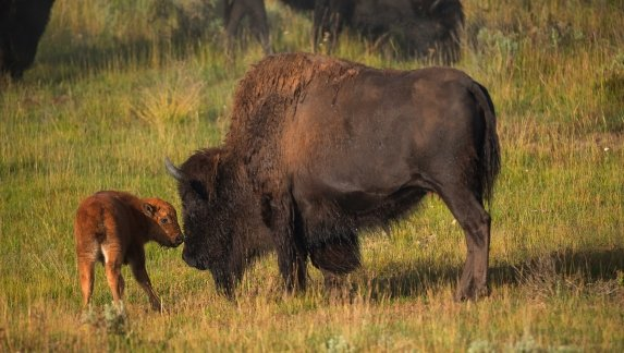 Bisons with young calfs on field in Yellowstone National Park, Wyoming, USA