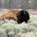 Bull bison sitting in sage brush