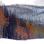 burned trees in Yellowstone