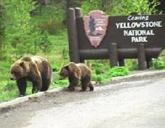 Wild Bear at Yellowstone National Park