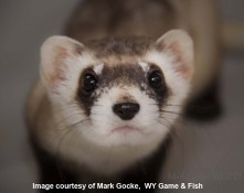 ferret looking forward (David MM) Photo Credit Image courtesy of Mark Gocke, Wyoming Game and Fish Dept wm