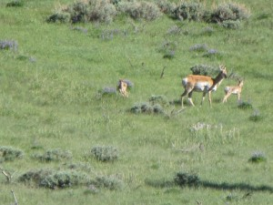 Pronghorn twins with their mother