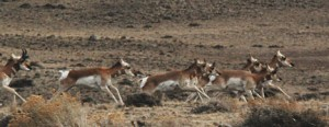 Young pronghorn quickly learn to run and are very fast
