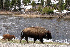 Spring Into Yellowstone participants are likely to spot young wildlife