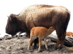 Spring brings many mamas and babies out to meadows and open areas