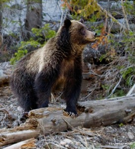 Bears are active in the fall preparing for winter hibernation