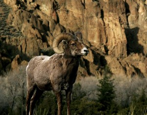 Big Horn Sheep can be seen in the hills of East Yellowstone Valley.
