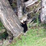 Bear in Yellowstone (7)