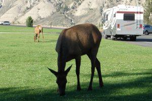 Elk graze alongside the road in Cody/Yellowstone Country.