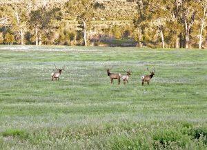 A herd of elk in the Wapiti Valley.