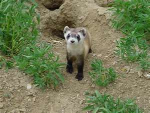 A black-footed ferret in front of a burrow.