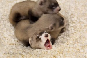 Baby black-footed ferrets