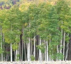 After a forest fire, quaking aspens are usually the first trees to grow.
