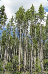 Lodgepole pines are common in Cody/Yellowstone Country.