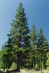 Ponderosa Pines are dense and provide fire protection.