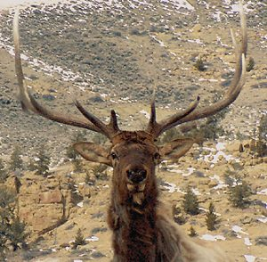 A bull elk in Cody/Yellowstone Country.