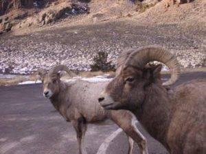 Bighorn sheep stand in the road along Buffalo Bill Scenic Byway.